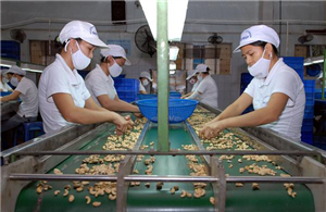 Bài toán gia tăng giá trị cho hạt điều Việt Nam