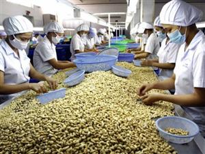 Xuất khẩu hàng chục nghìn tấn dầu từ vỏ hạt điều